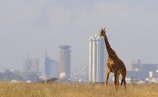 Una giraffa alla periferia di Nairobi